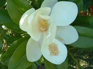 magnolias 11.11.05 004